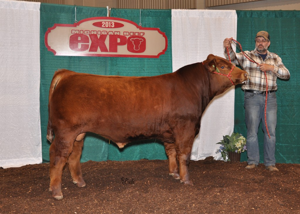 Champion Simmental Bull 2013 MI Beef Expo